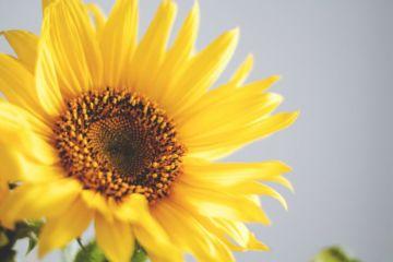 златни сунцокрет