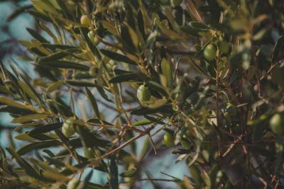 lunjski maslinici ostrvo pag